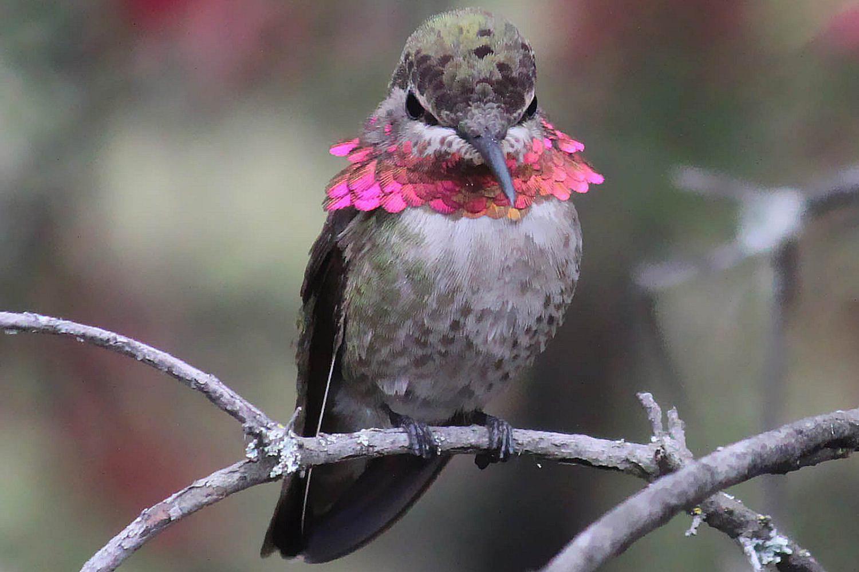 Hummingbird Behavior And Aggression