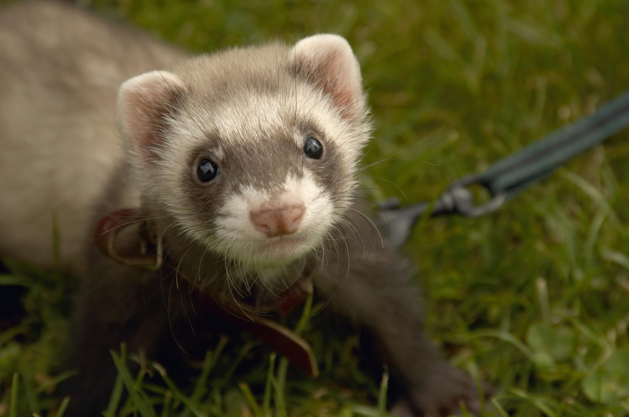 top reasons why ferrets make excellent housepets What should i do if my ferret stops eating there are several possible reasons your critter has  it's vitally important for ferret owners to make.