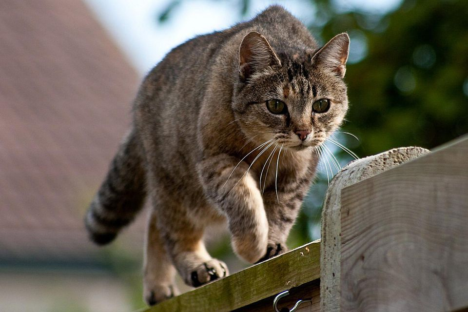 Prowling Outdoor Cat