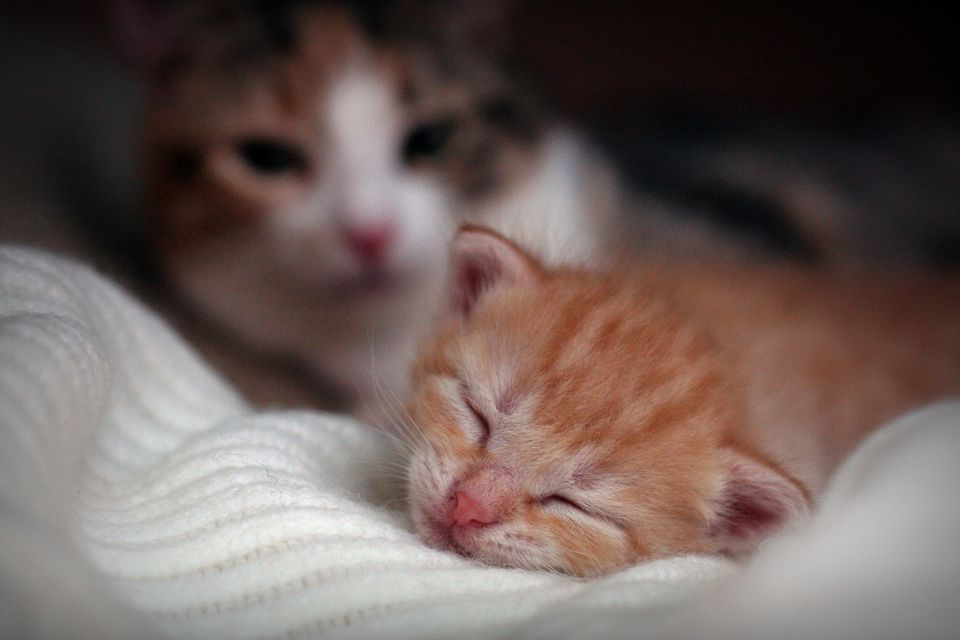 tint ginger kitten sleeping watched by his mother