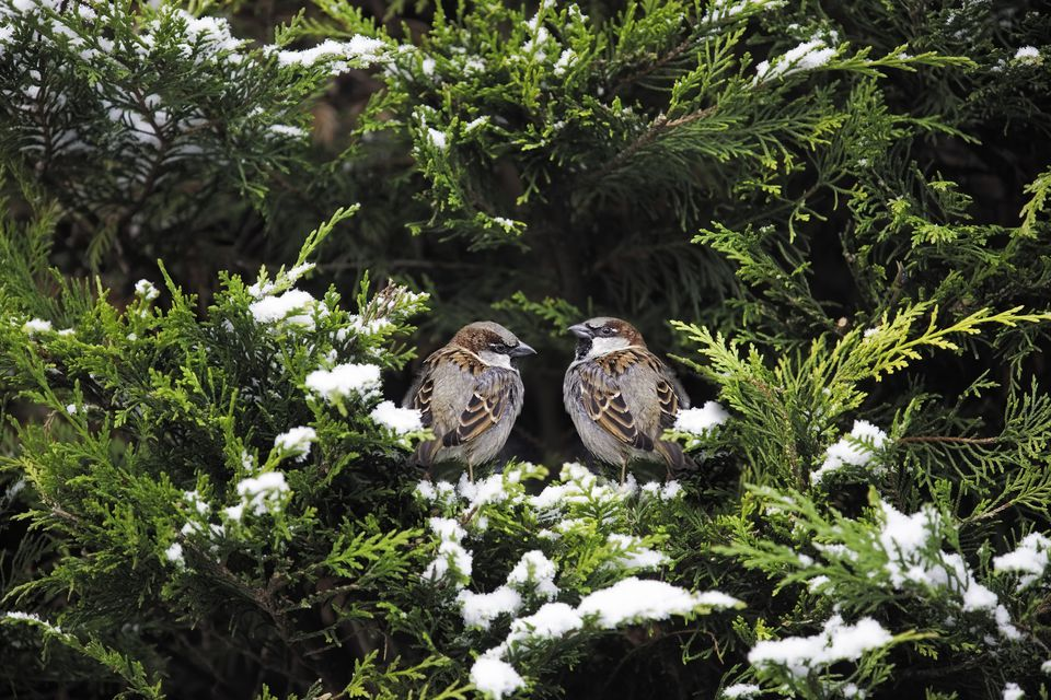 Arborvitae bush with snow on branches and two sparrows perched on it.