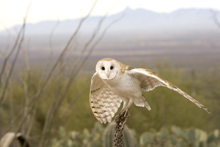 A barn owl in flight, Arizona