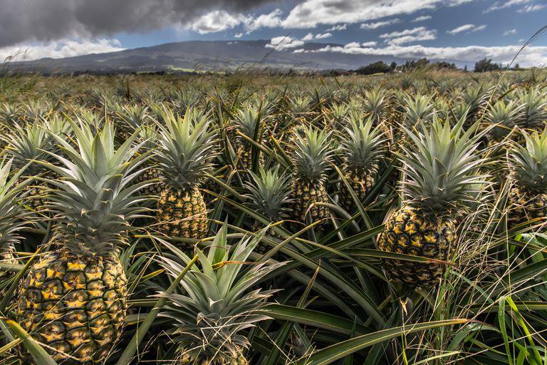Pineapple plantation