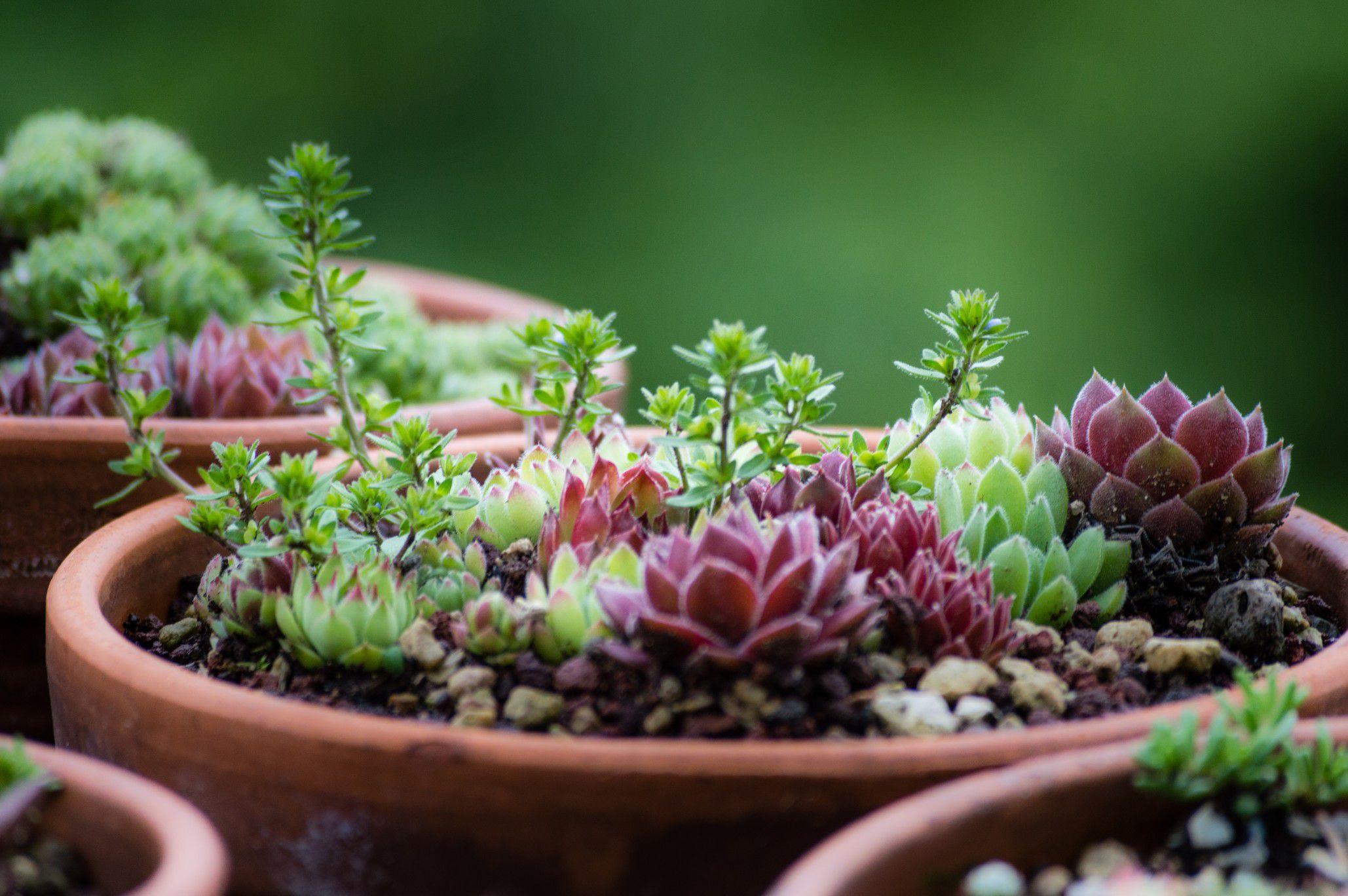 caring for varieties of perennial succulent plants. Black Bedroom Furniture Sets. Home Design Ideas
