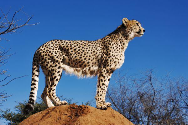 Cheetah standing still on a mound