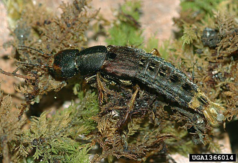 Rove beetle adult.