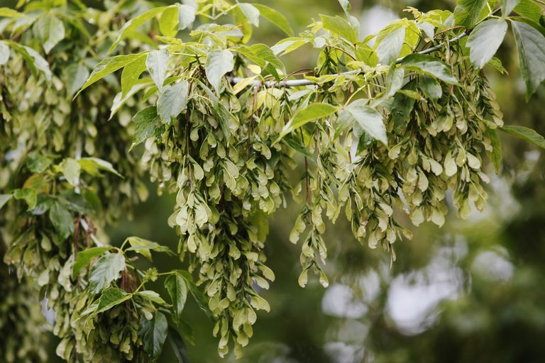 Winged Seeds on Ash-leaved Maple (Acer negundo)