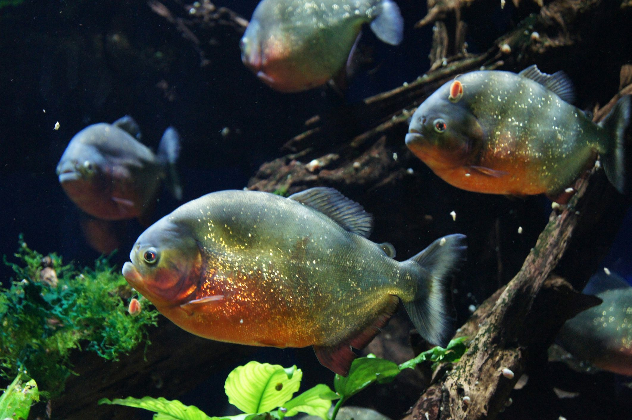 Freshwater aquarium fish information - Fish Names Beginning With B Freshwater Fish Breeds