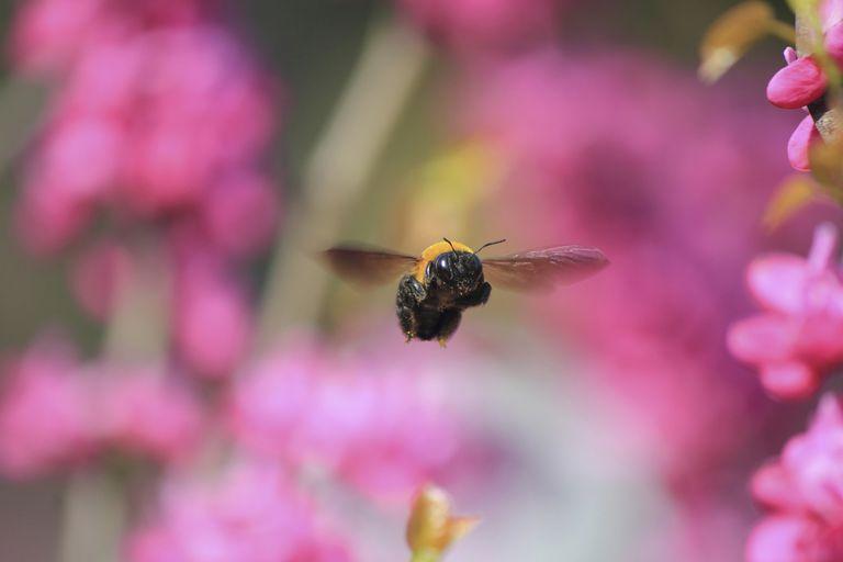 Carpenter bee flying.