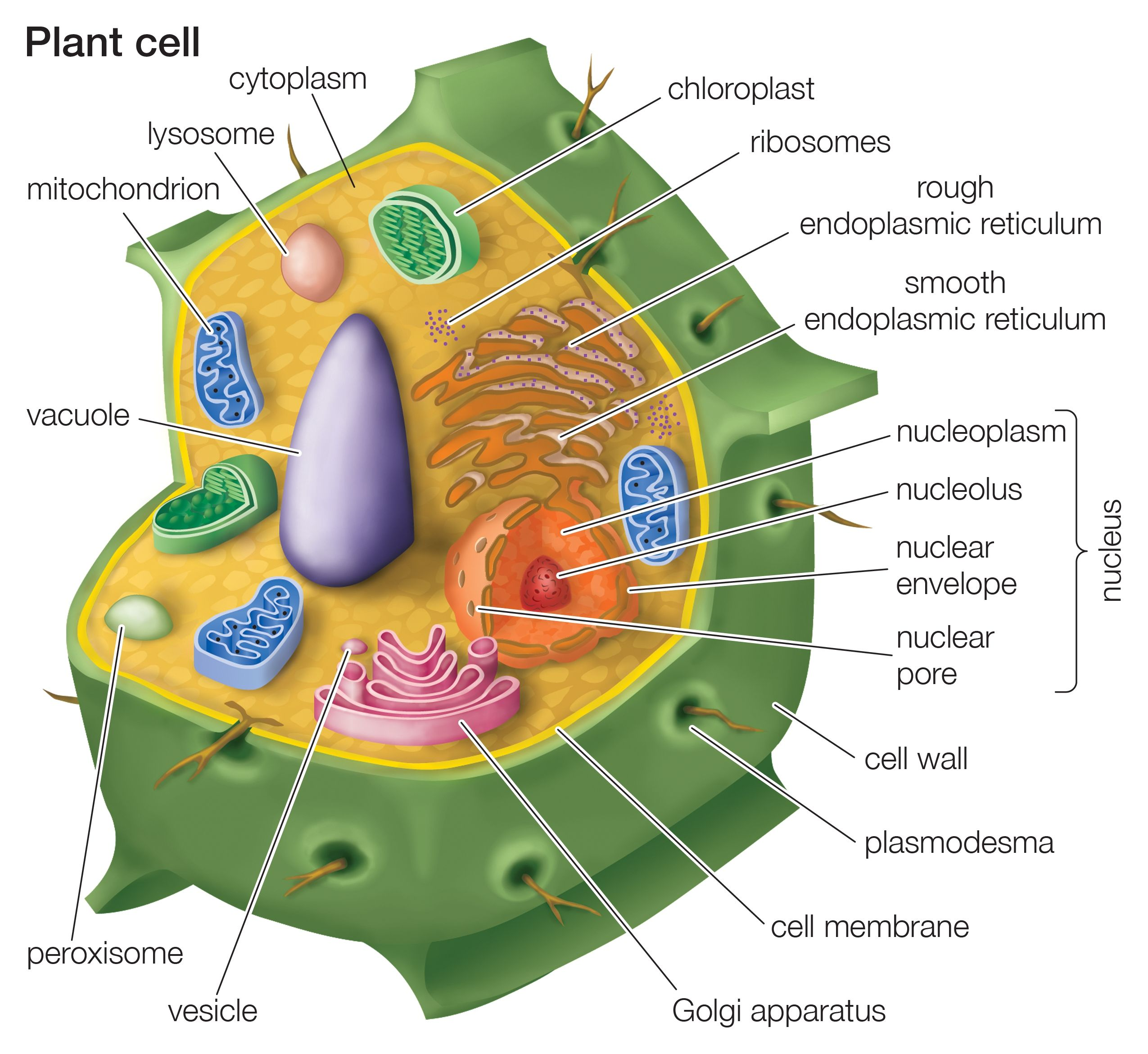 Cutaway drawing of a eukaryotic plant cell.