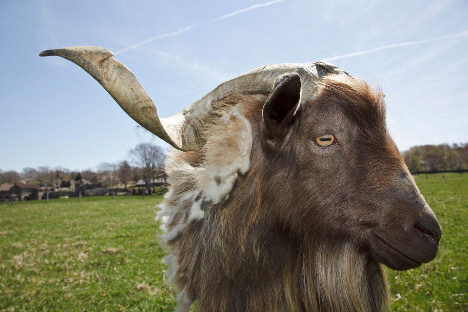 Tennessee Mytonic Goat