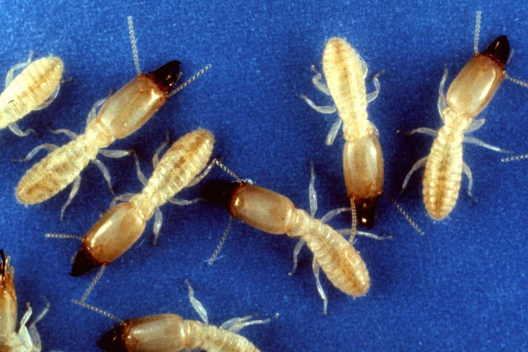 Termite soldiers