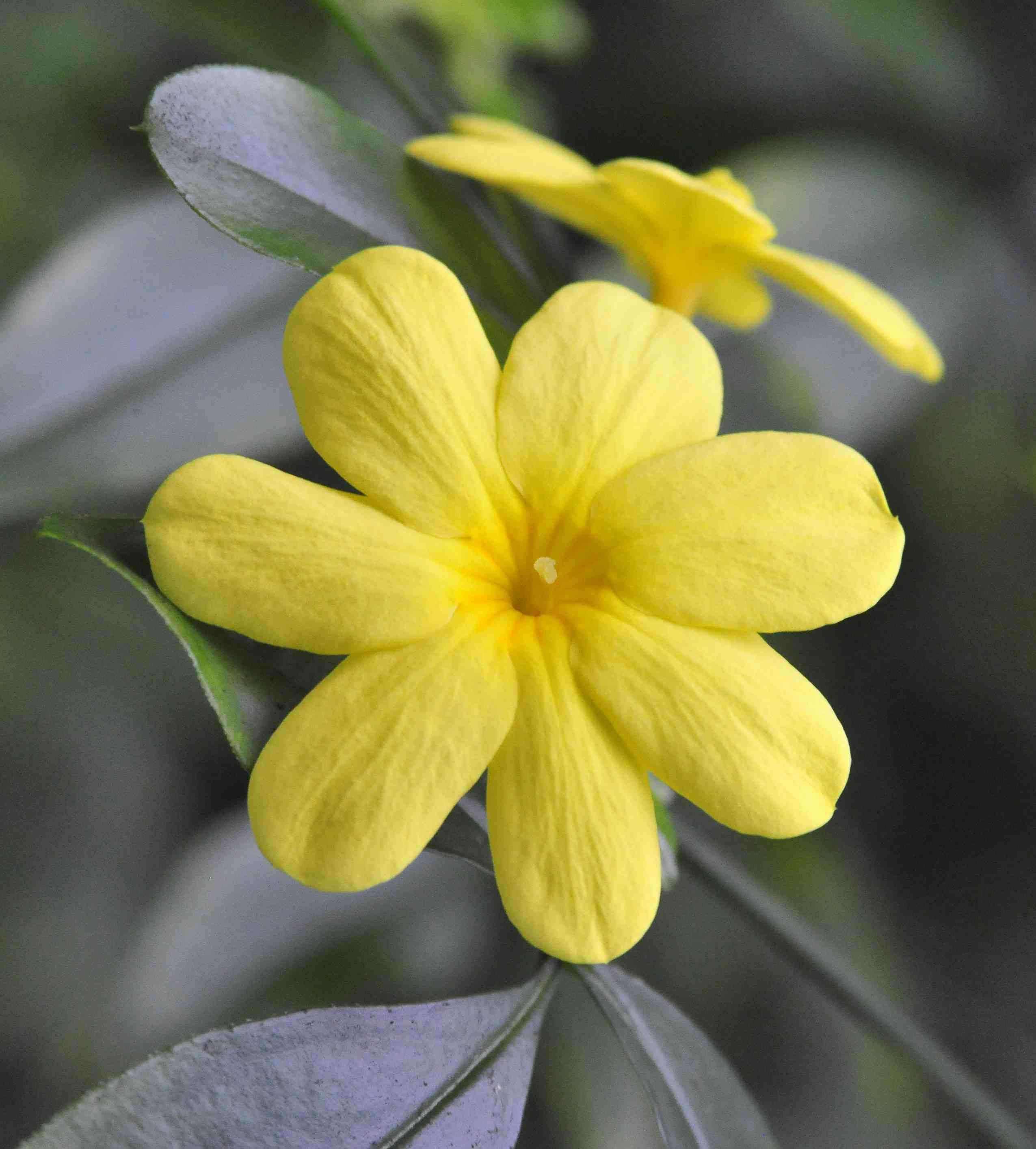 10 recommended jasmines for home gardens izmirmasajfo Image collections