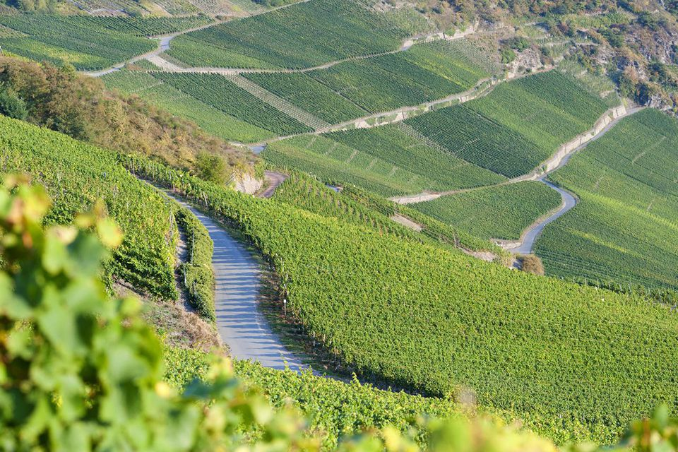 View of vineyards above Piesport village in Mosel Valley in Germany