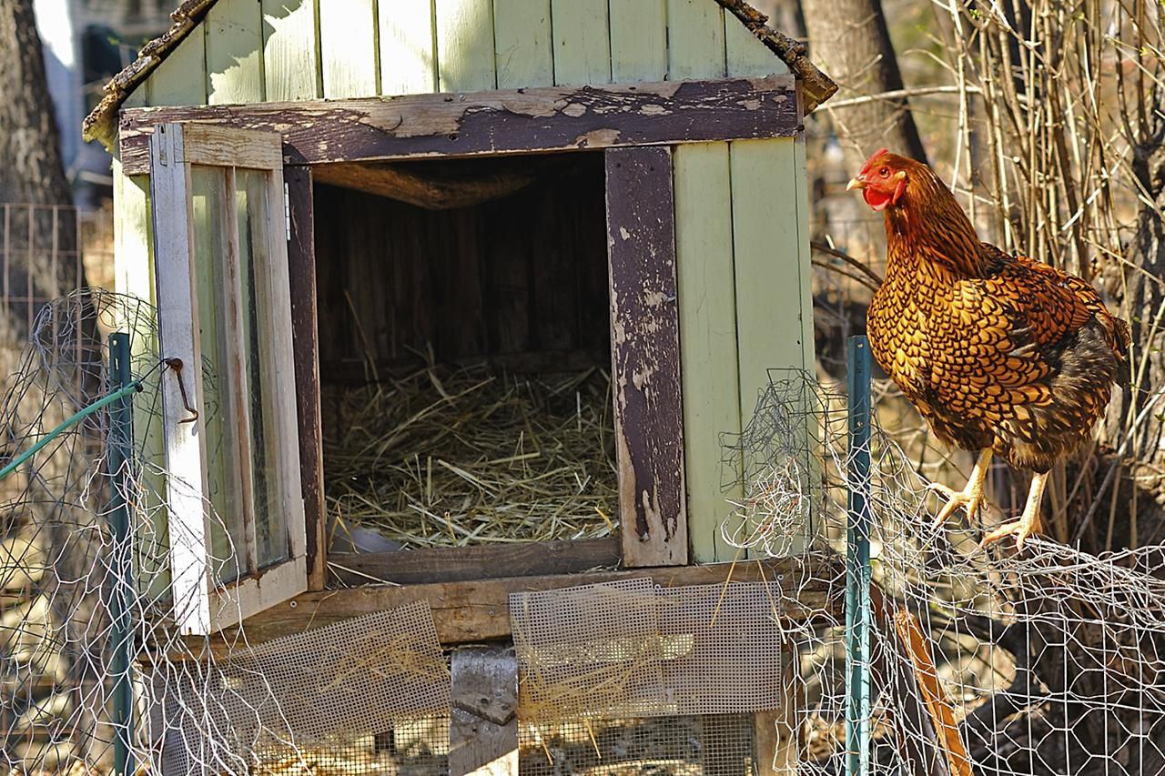 how to take care of chickens