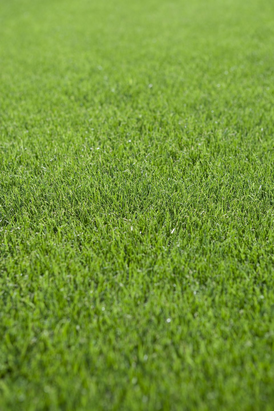 Annual Ryegrass Lawn