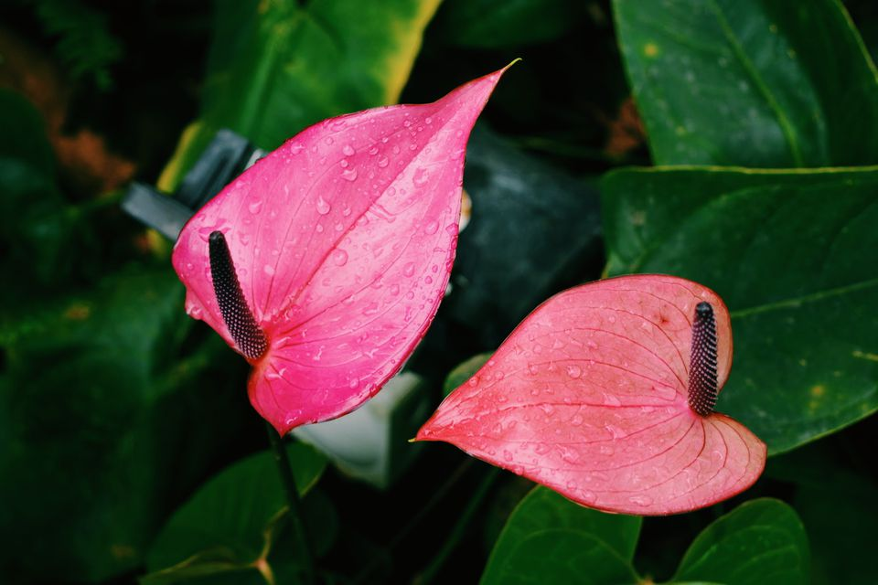 anthurium growing outdoors