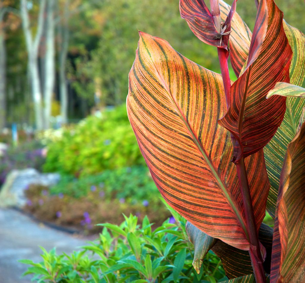How To Grow Canna Lilies In Containers