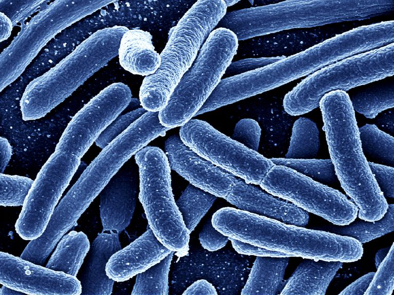 Intestinal bacteria may be important in the development of a number of complex diseases.