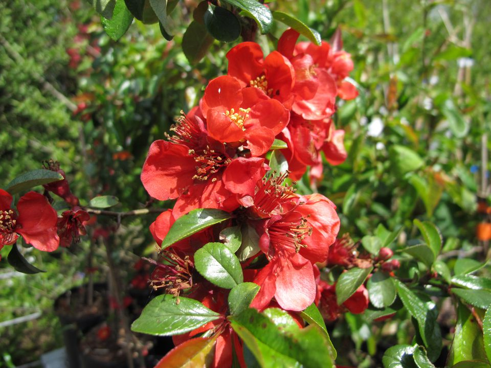Red flowers appear on the Japanese quince shrub in early spring.