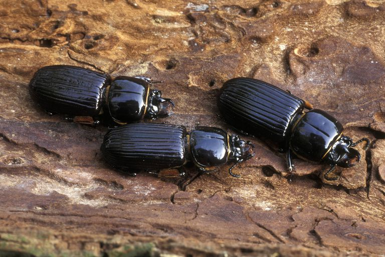 Bess beetles.