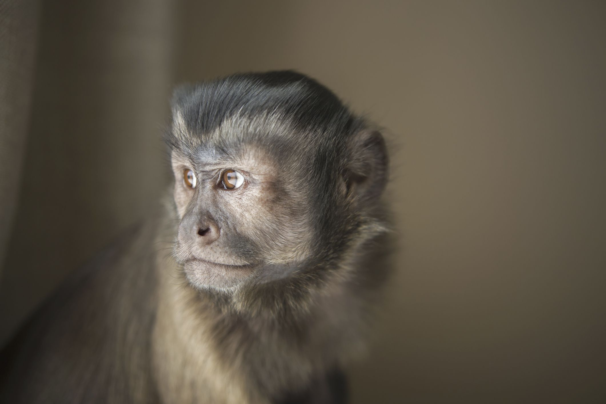 issues with keeping a monkey as a pet
