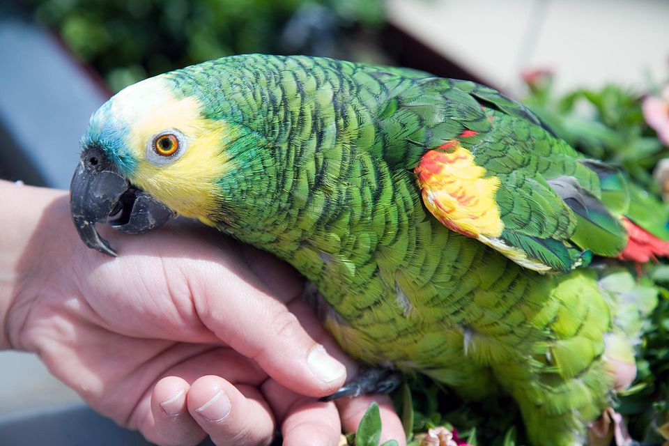 Blue fronted parrot ( Amazona aestiva)