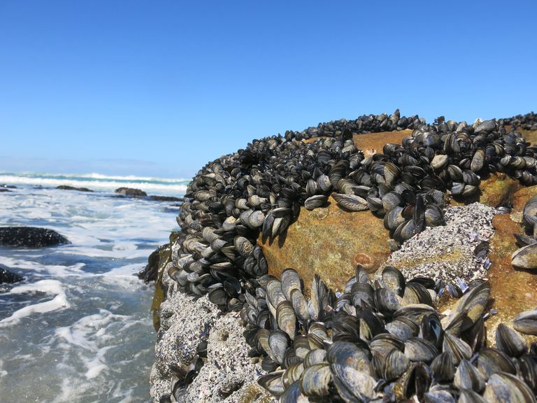 View Of Barnacle And Mussel On Rock Formation By Sea