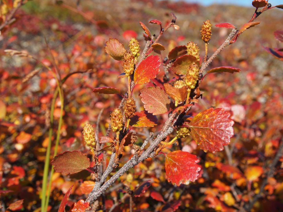 Bog Birch in Autumn