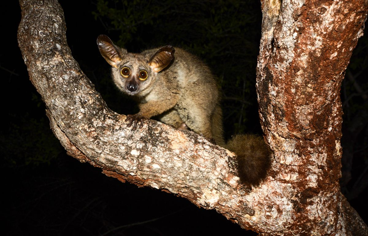 10 Nocturnal Animals to Look For on an African Safari