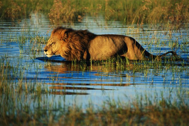Okavango Delta lion, Botswana