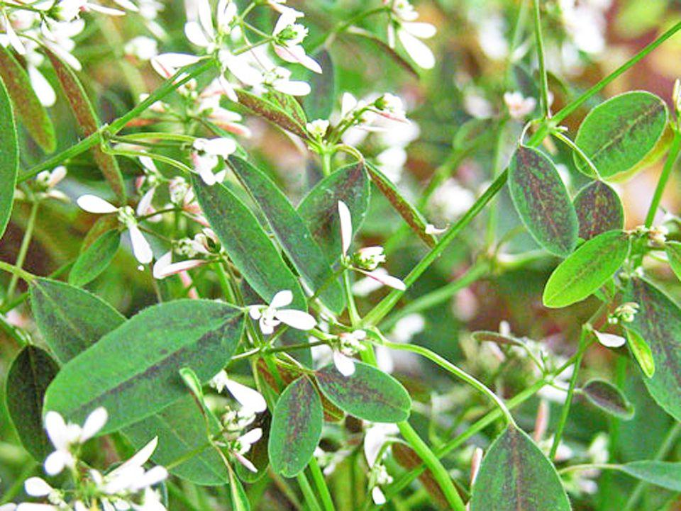 Baby's-Breath Euphorbia (Euphorbia hypericifolia)