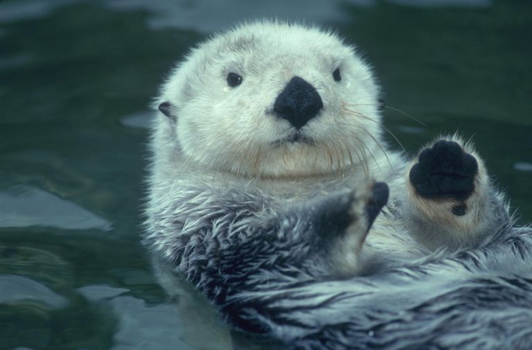 Sea otter floats on back with its paws