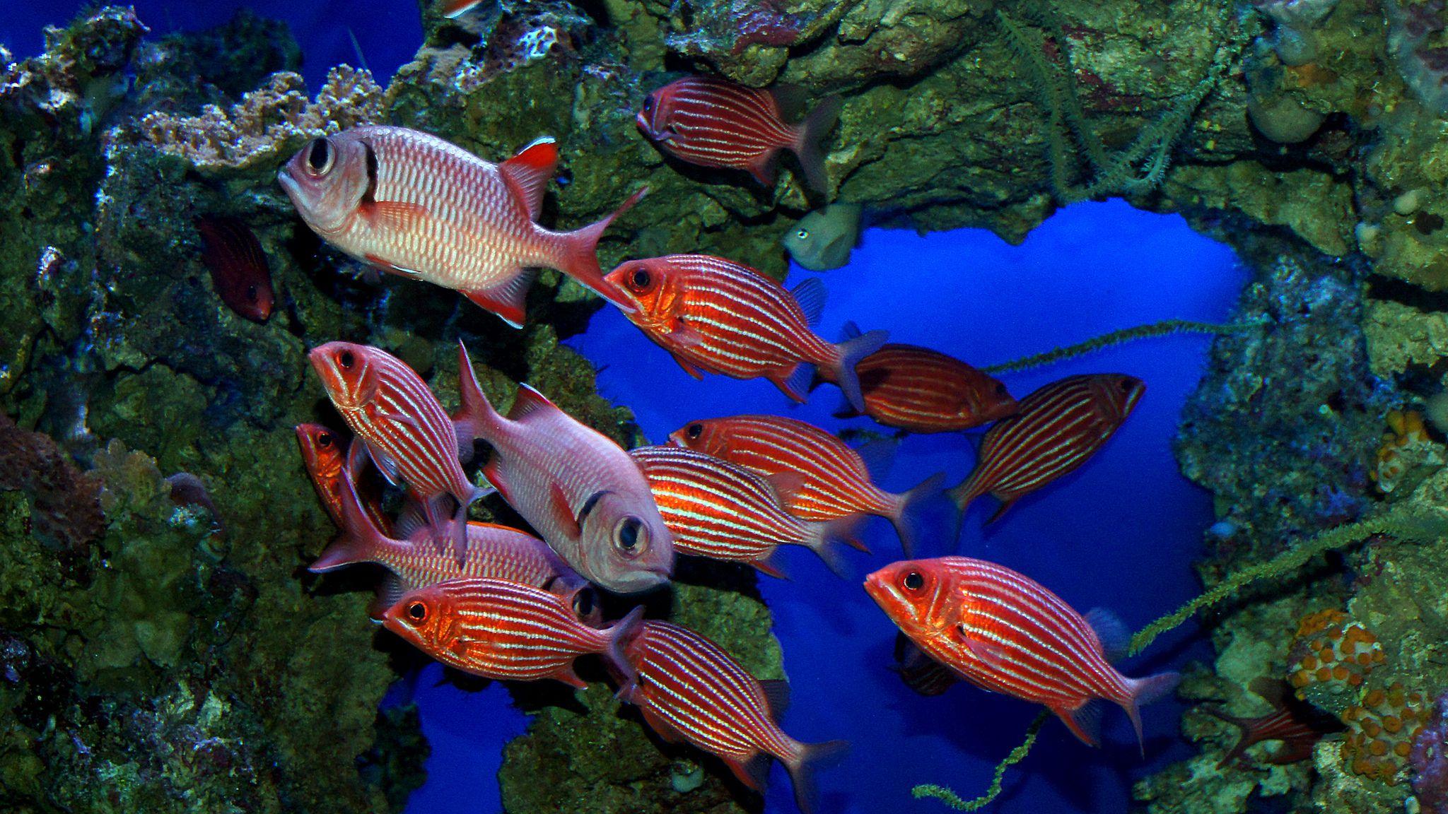 Striped squirrelfish fish breed profile for Big eye squirrel fish