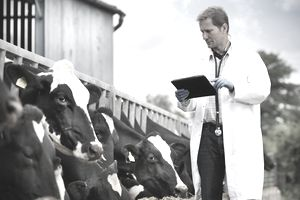 Vet inspecting cows whilst feeding on dairy farm
