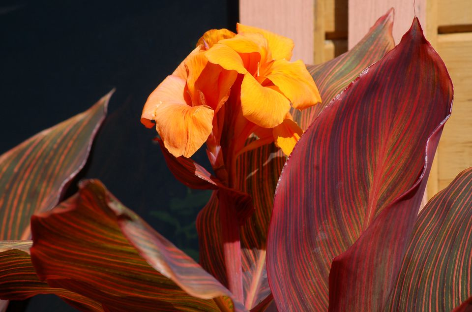 Image of Tropicanna canna plant with flower.