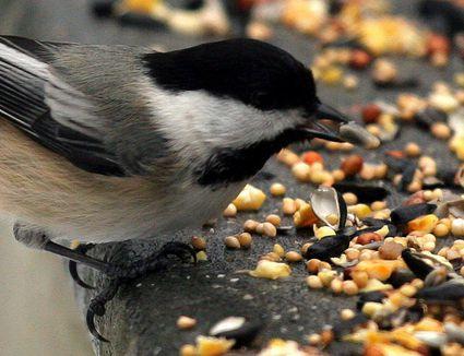 how to get rid f seed weavils in birdseed