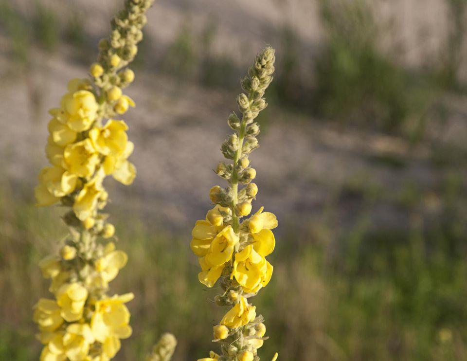 Dense-flowered mullein, one plant in focus