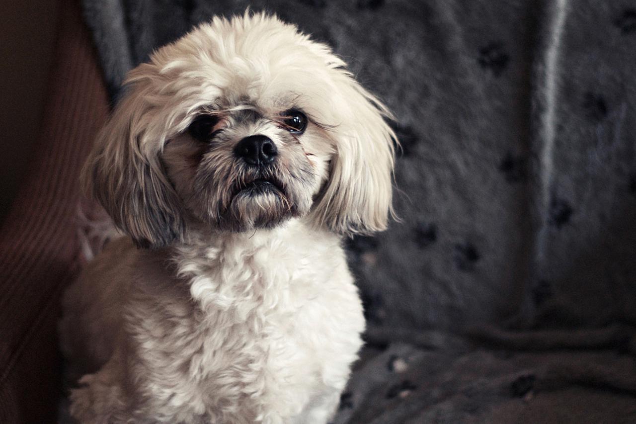 Lhasa Apso Dog Breed Profile