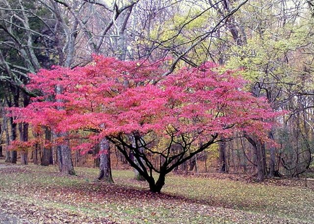 Mature Dogwood in Shiloh Battlefield, Temmessee