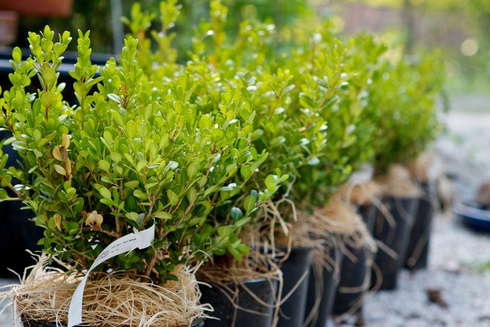 Boxwood hedge plants