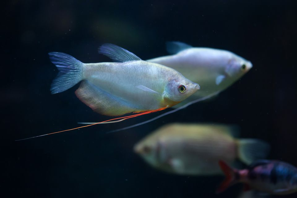 Moonlight gourami (Trichopodus microlepis), also known as the mo