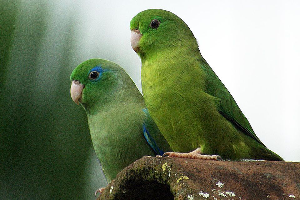 A pair of Spectacled Parrotlet in Colombia.
