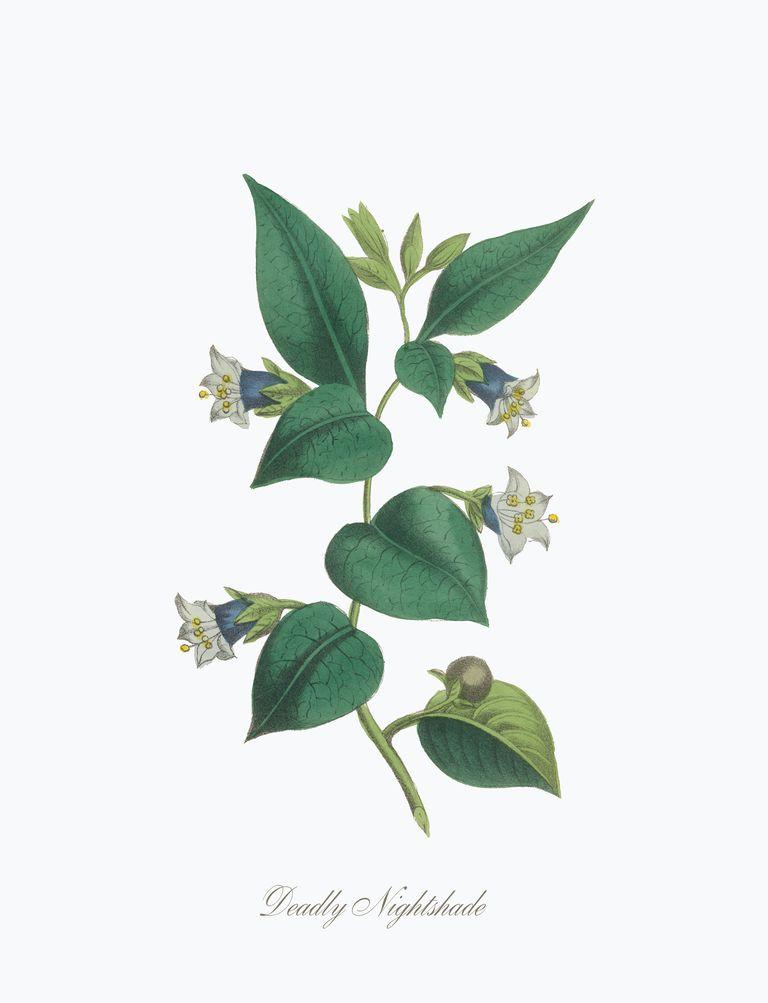 Victorian Botanical Illustration of Deadly Nightshade