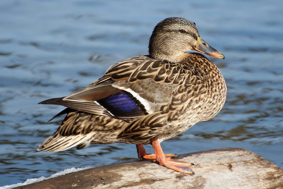 Call Ducks  History Colours  ASHTON WATERFOWL