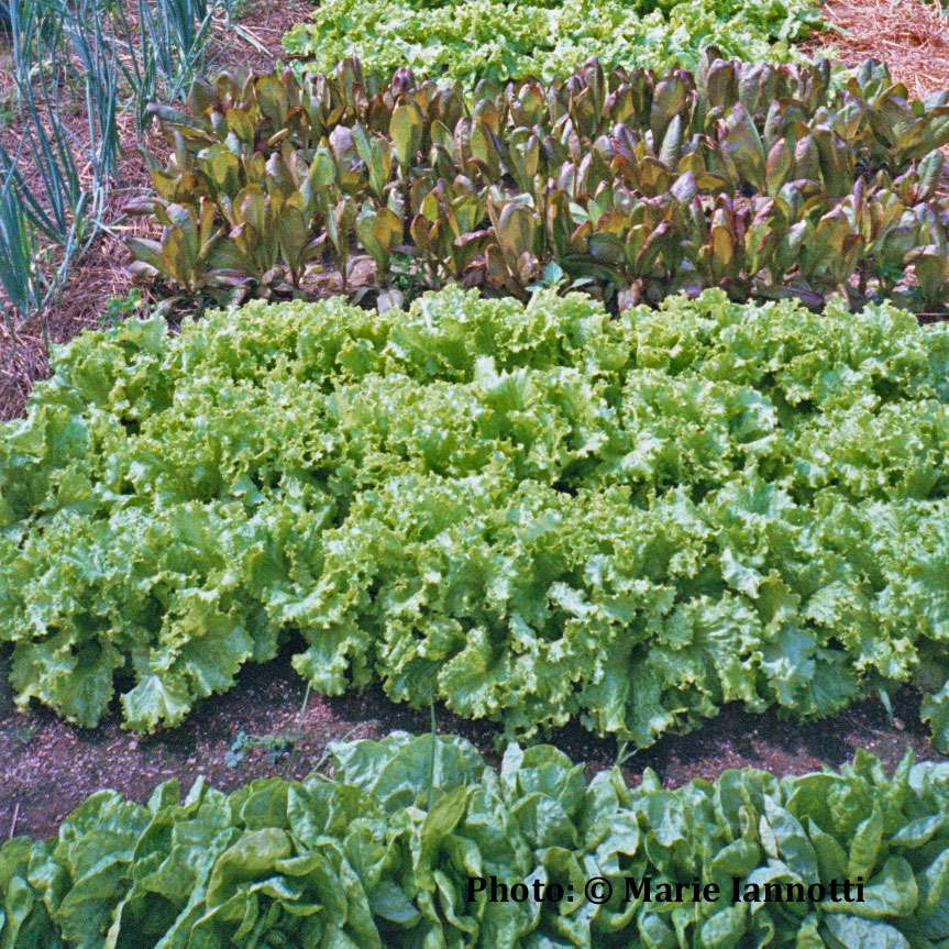 Blocks of different lettuce varieties in a wide row