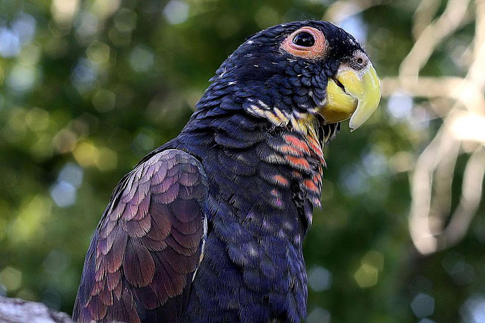 A pet Bronze-winged Parrot (also known as Bronze-winged Pionus).