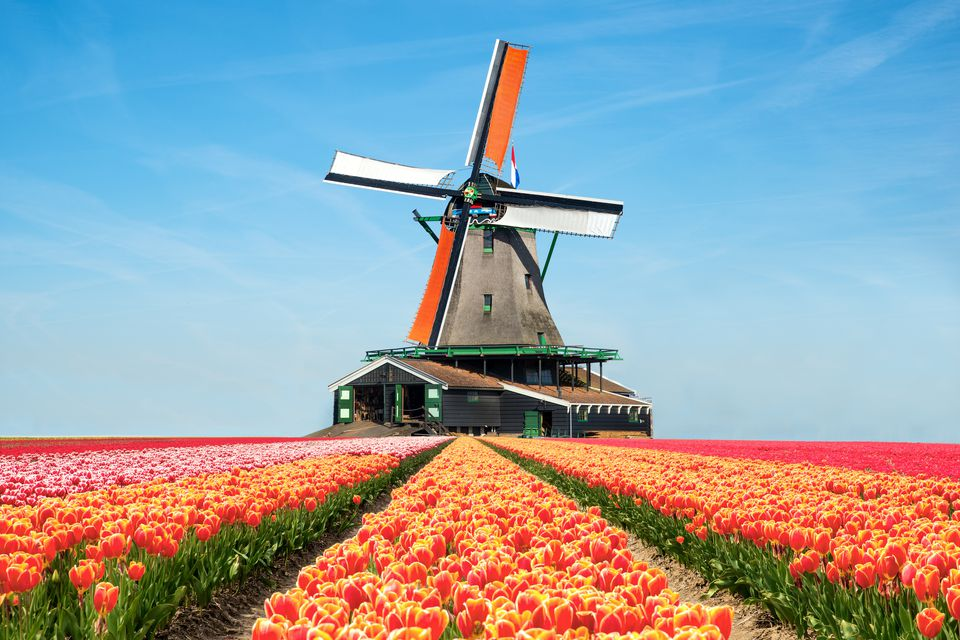 Landscape of tulips and windmills in the Netherlands
