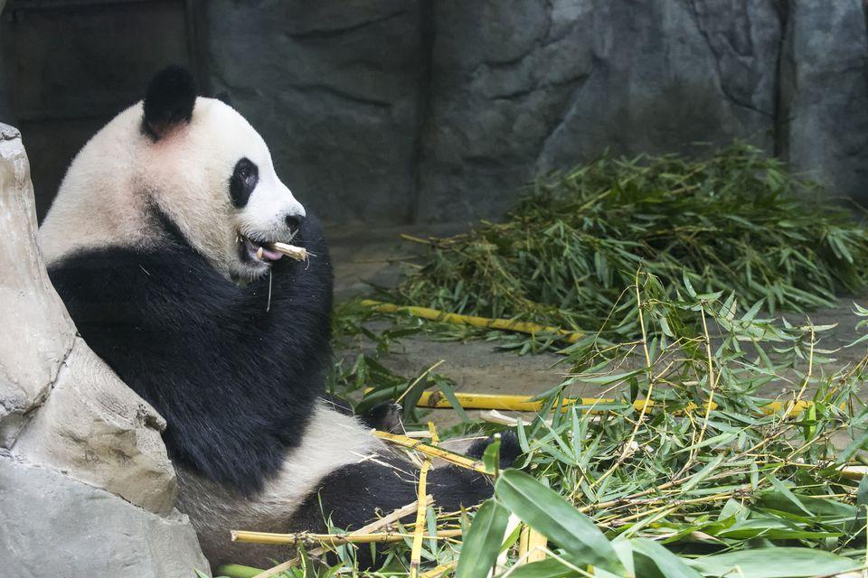 An endangered Giant Panda cub (Ailuropoda melanoieca) eating bamboo