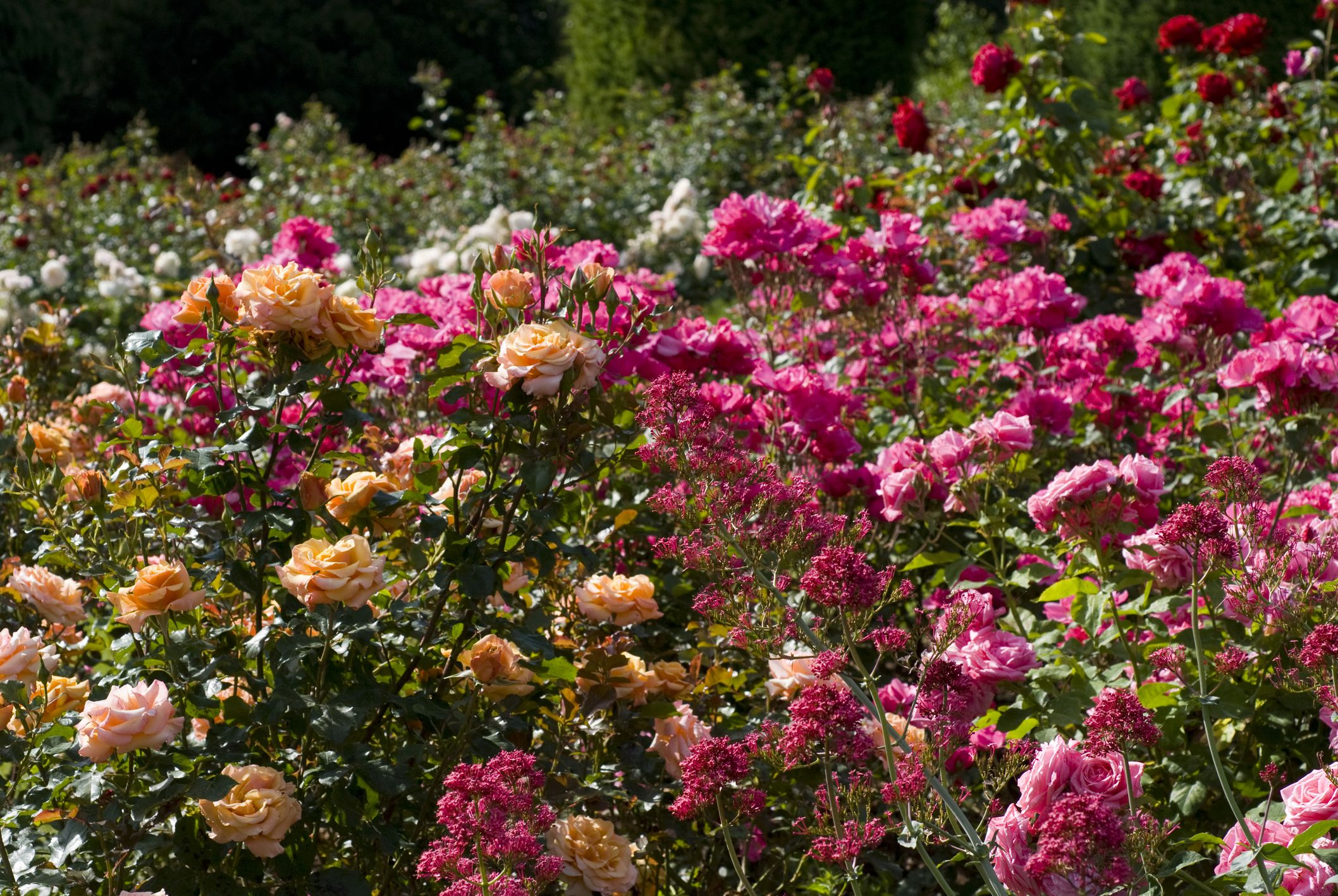 Roses In Garden: 15 Floribunda Roses For The Flower Garden